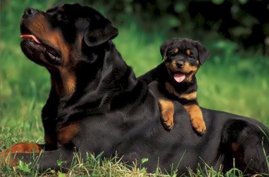 Rayka and Able litter. This picture is owned by von der musikstadt rottweiler. The puppy in this picture is our producing