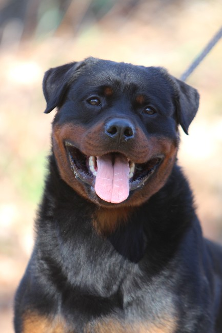 rottweiler male in Texas