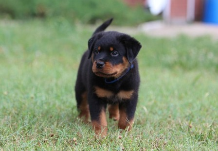 rottweiler female in texas