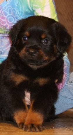 rottweiler female puppy