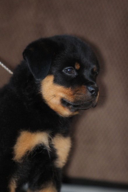 female rottweiler puppy