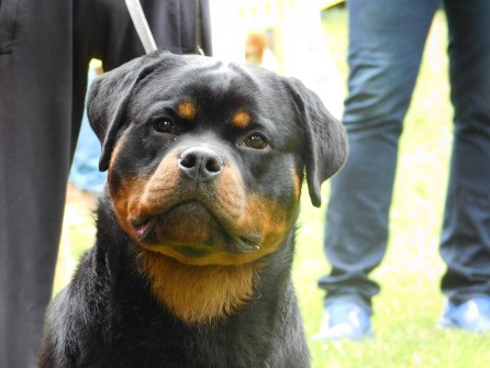 Rottweiler male in serbia