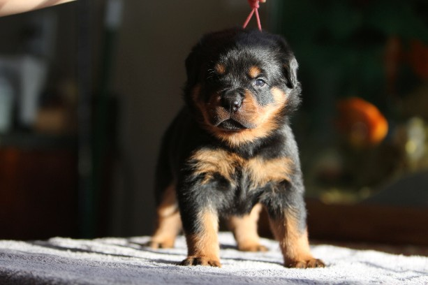 large rottweiler puppy