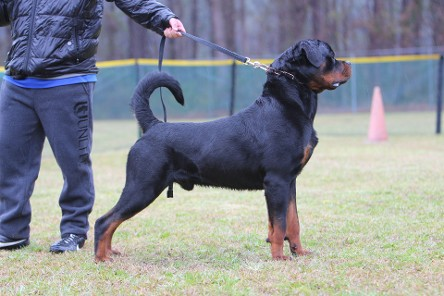 male rottweiler stud california