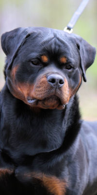 Rottweiler female breeding