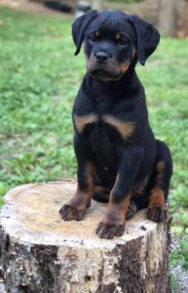 female rottweiler puppy in north carolina