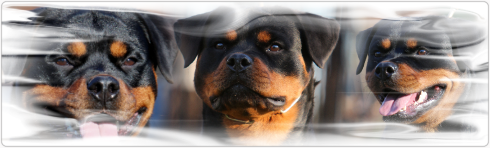 rottweiler female german bloodline
