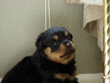 rayka-able-rottweiler-puppy