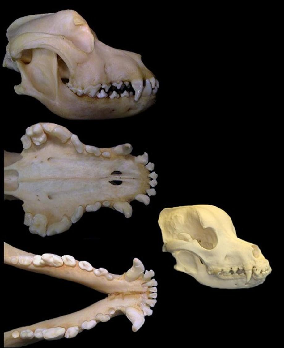 ROTTWEILER DOGS CANINE TEETH