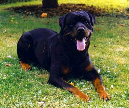 HOSS VOM HAUSE ENZIAN ROTTWEILER MALE