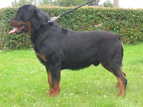 BARNI OD DRAGICEVICE ROTTWEILER MALE