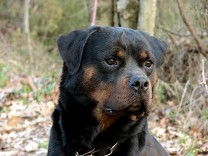 rottweiler male pacco