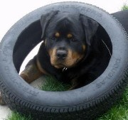 axel rottweiler male