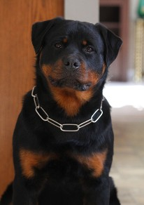 8 month old rottweiler puppy