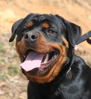 rottweiler dog head