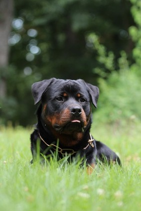 rottweiler male in virginia
