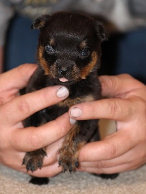 little rottweiler puppy