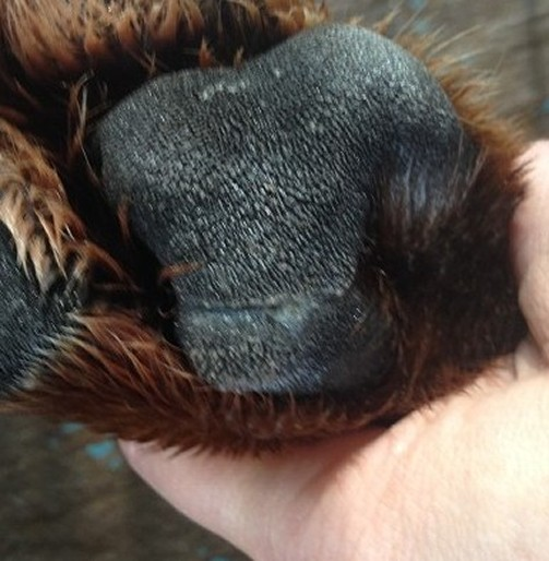 tear dog foot pad healed