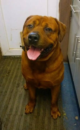 red rottweiler