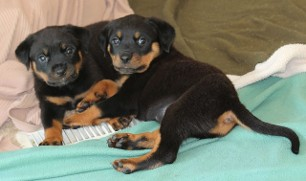 rottweiler puppies ohio