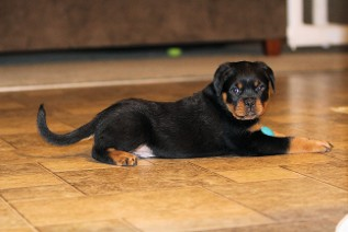 male rottweiler puppy in north carolina
