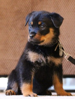 rottweiler dog female in tennessee