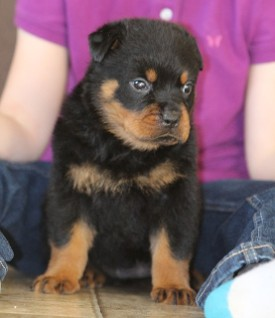 rottweiler female tn